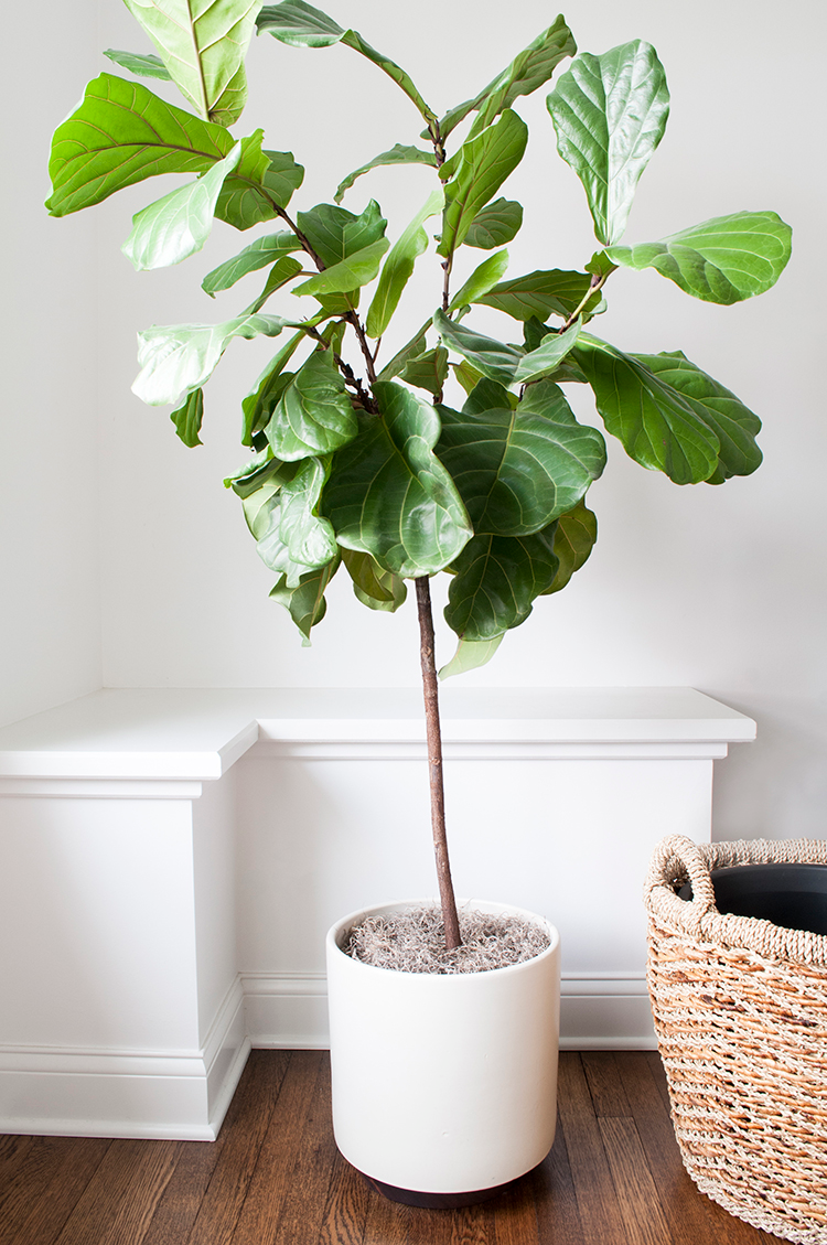 fiddle-leaf-3